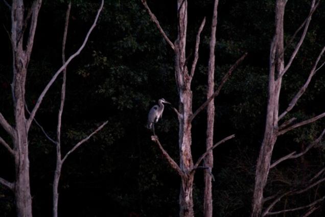 Another closeup of heron at night
