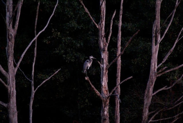 Another closeup of heron at night