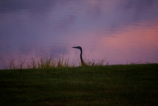 Heron at Lake Edge